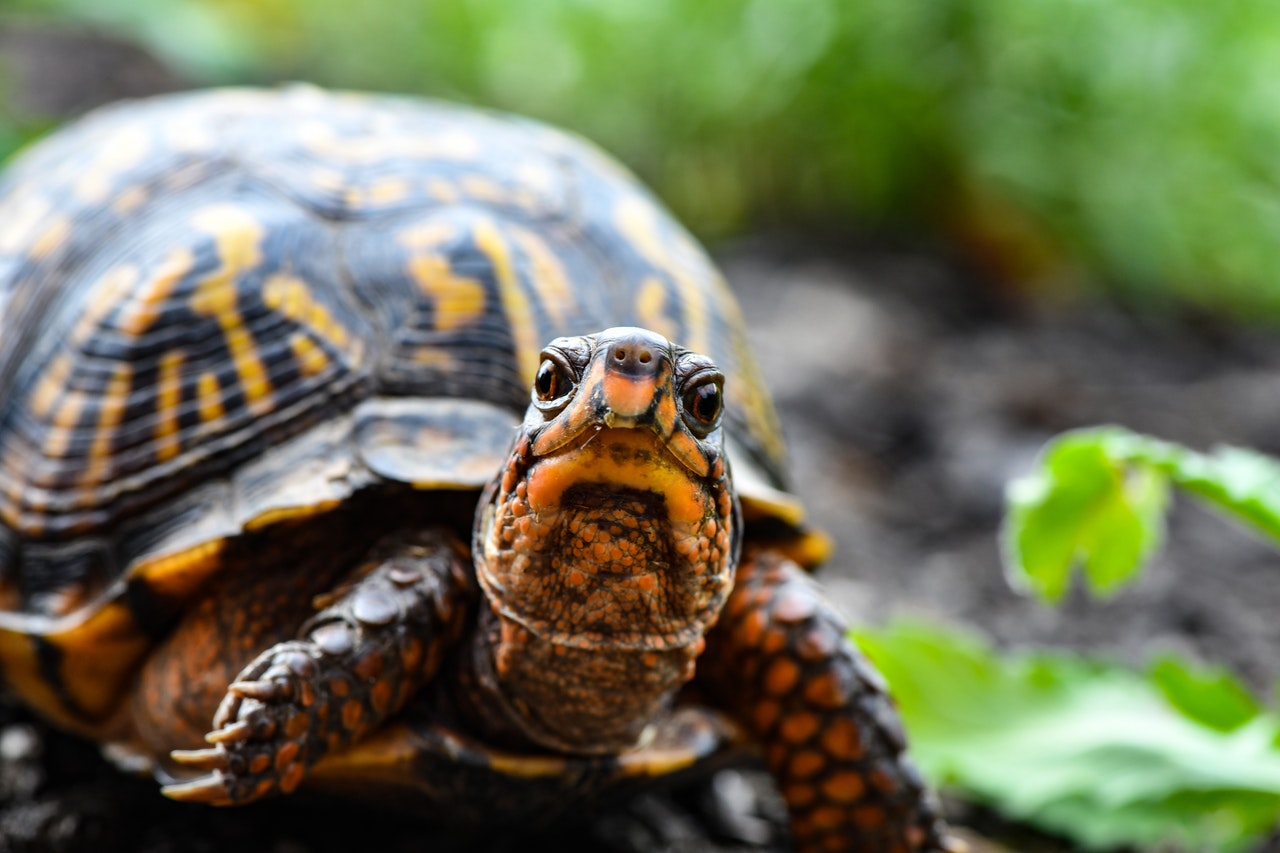 tortugueras para tortugas grandes