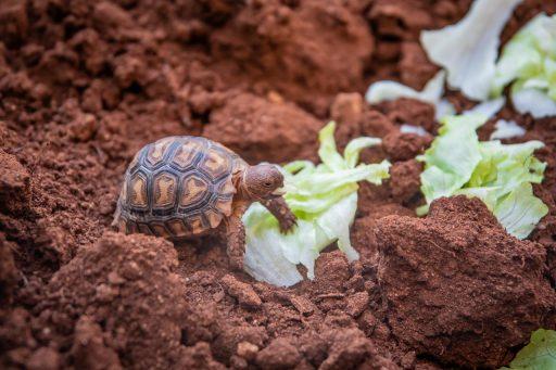 alimentos para las tortugas