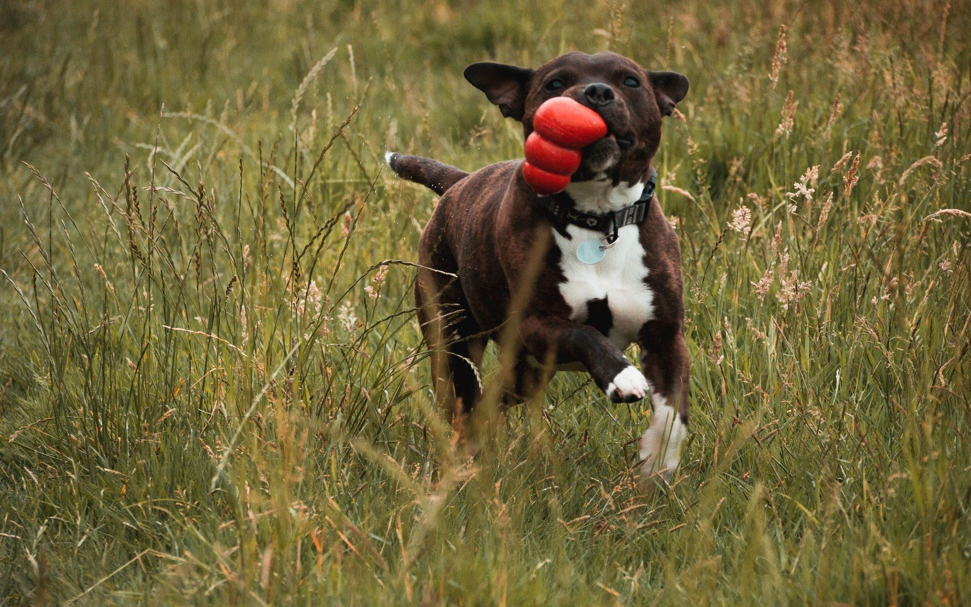 kong para perros amazon